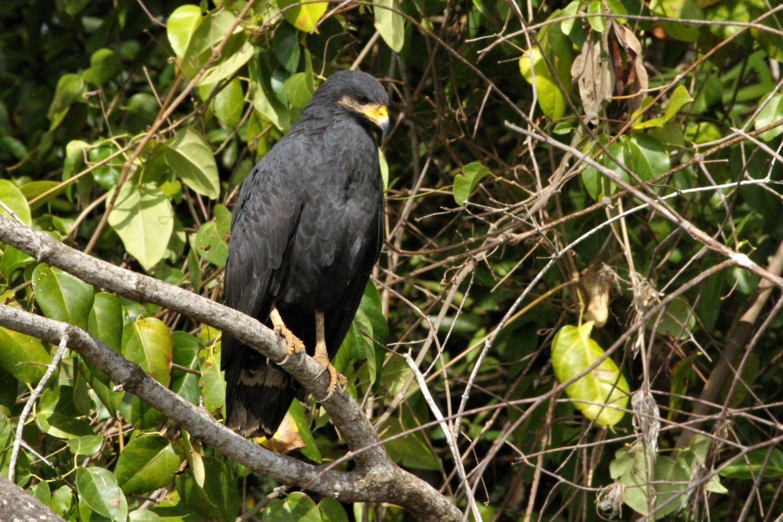 Mangrove Black-hawk, Rio Tarcoles, Costa Rica