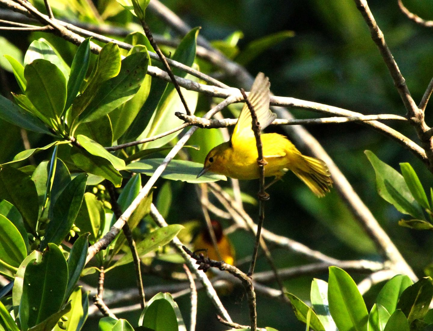 Prothonotary Warbler, Costa Rica