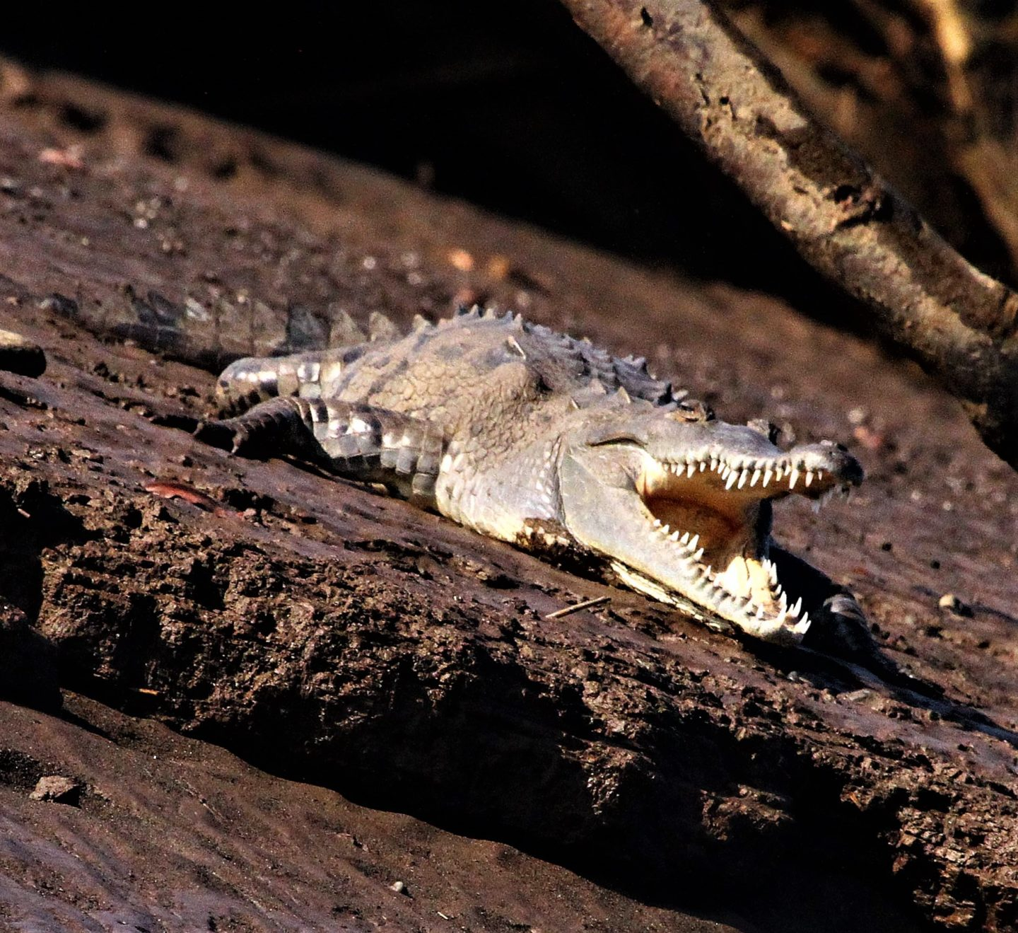 Crocodile on the banks of the Rio Tarcoels, Costa Rica