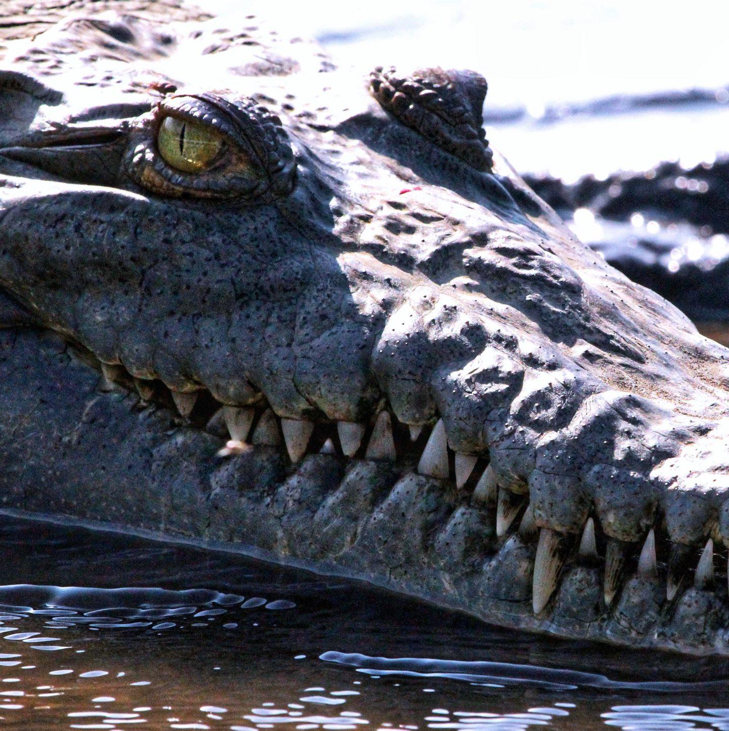 American Crocodile, Costa Rica