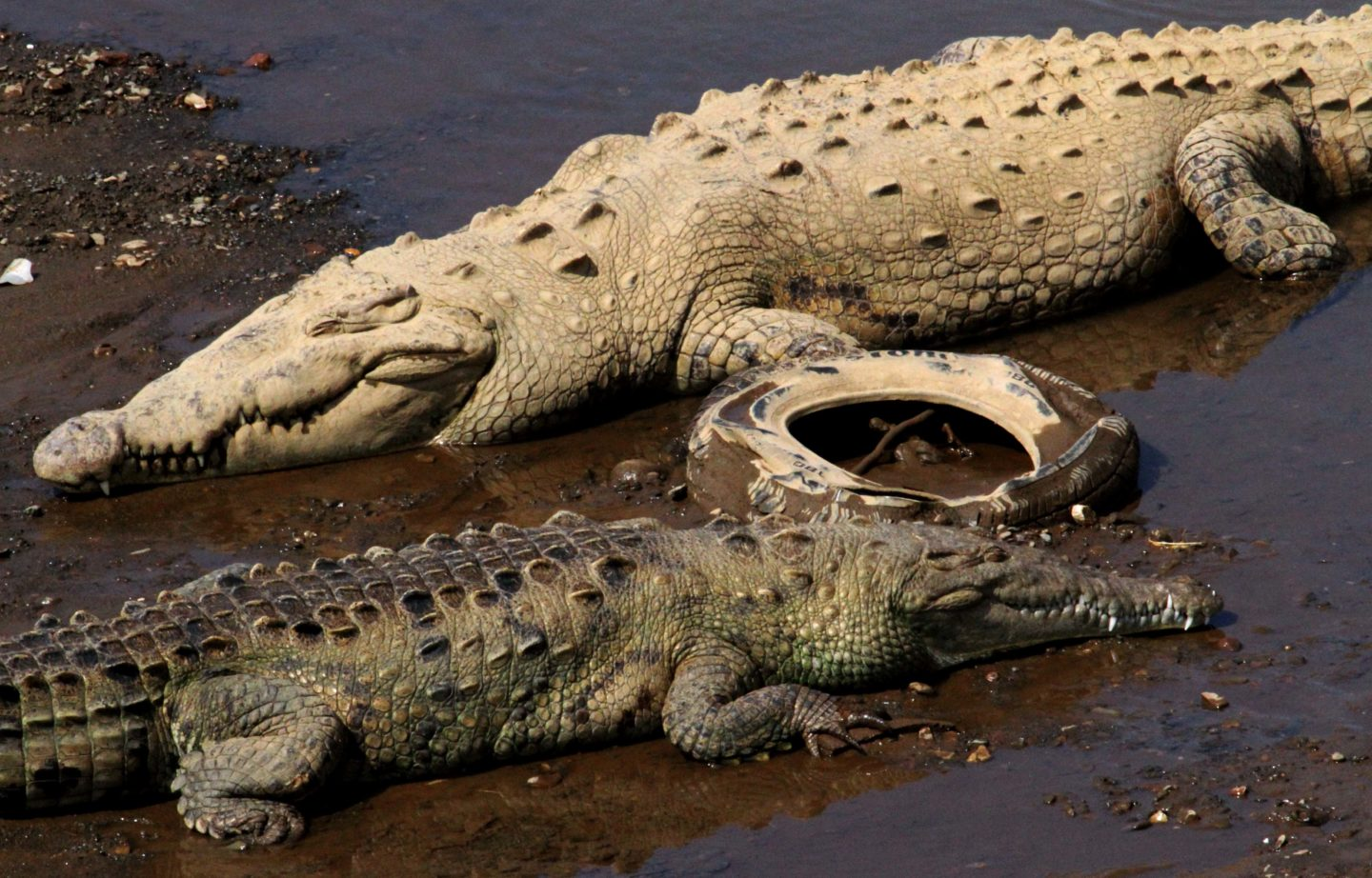 Pollution and crocodiles, Costa Rica