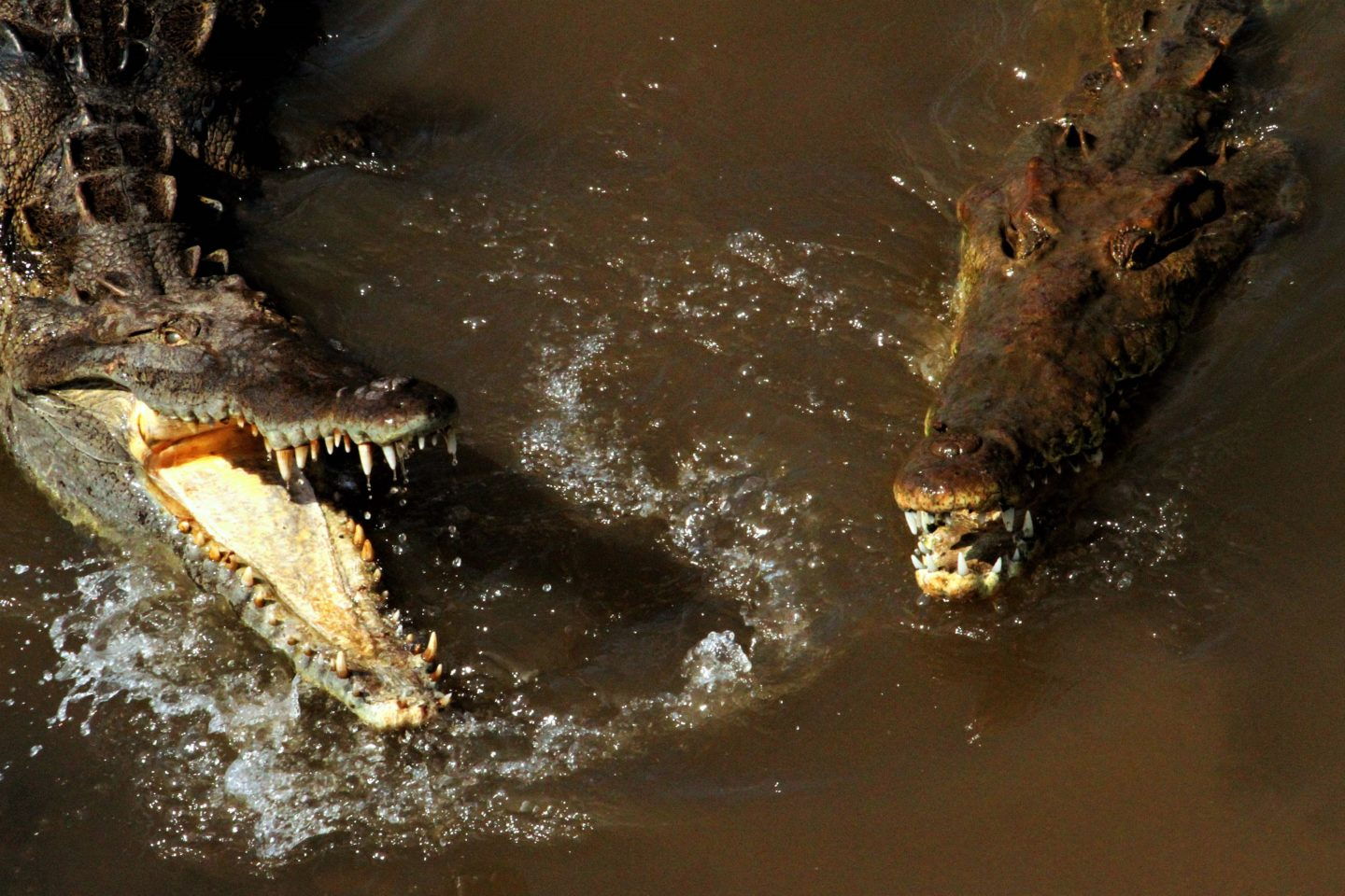 Crocodiles snapping, Costa Rica