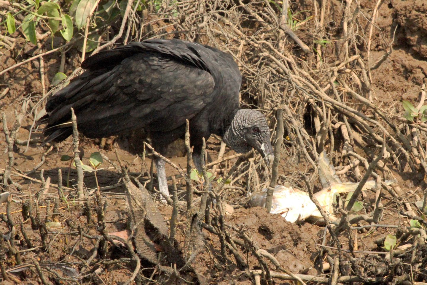 Black Vulture eating fish, Rio Tarcoles, Costa Rica