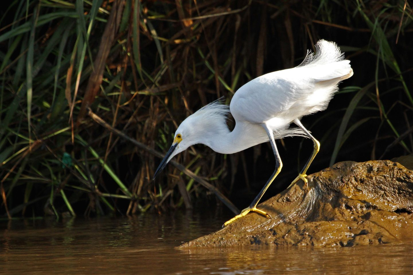 Snowy Egret on bank of the Rio Tarcoles, Costa Rica