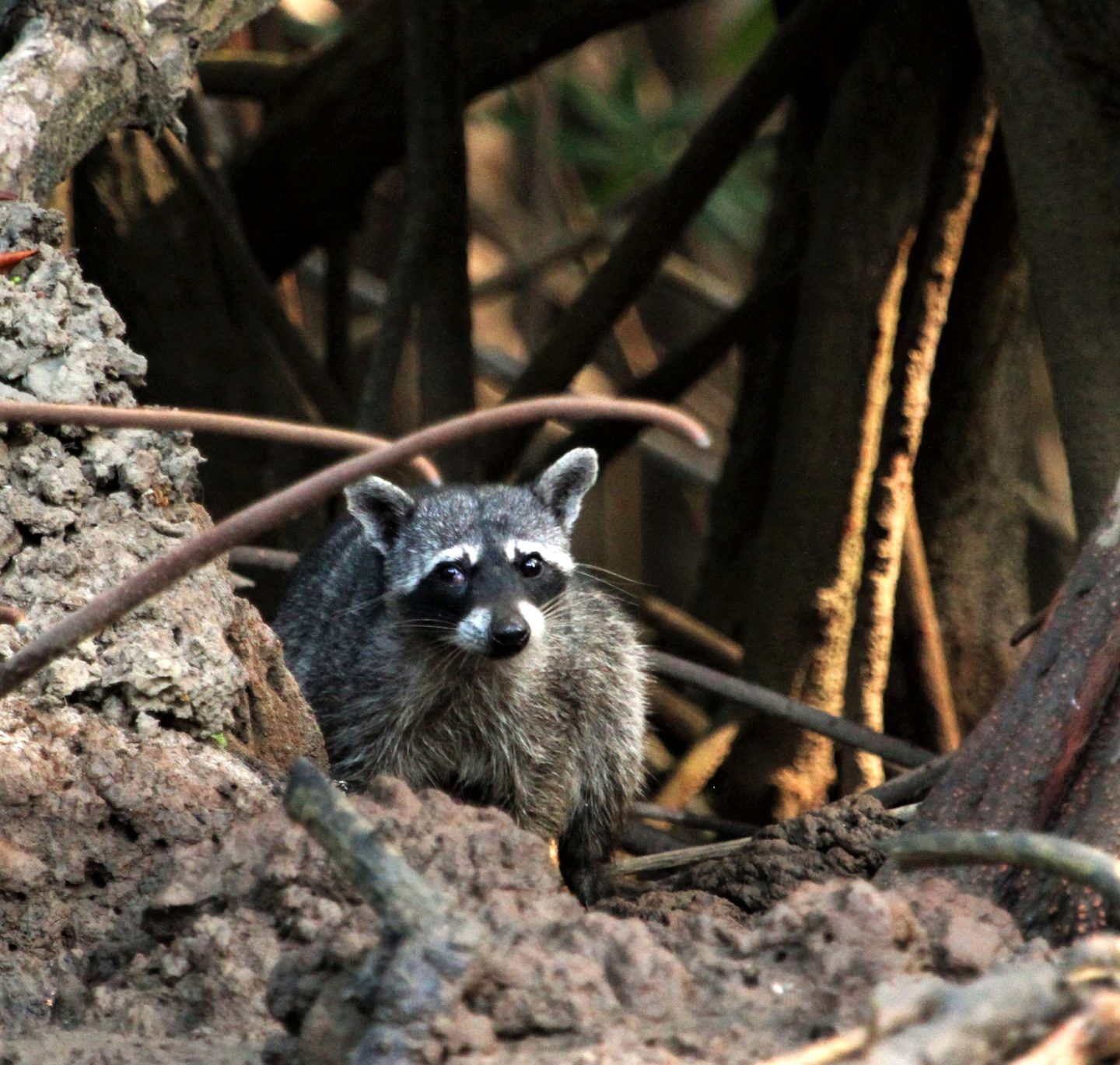 Raccoon on the banks of Rio Tarcoles, Cost Rica