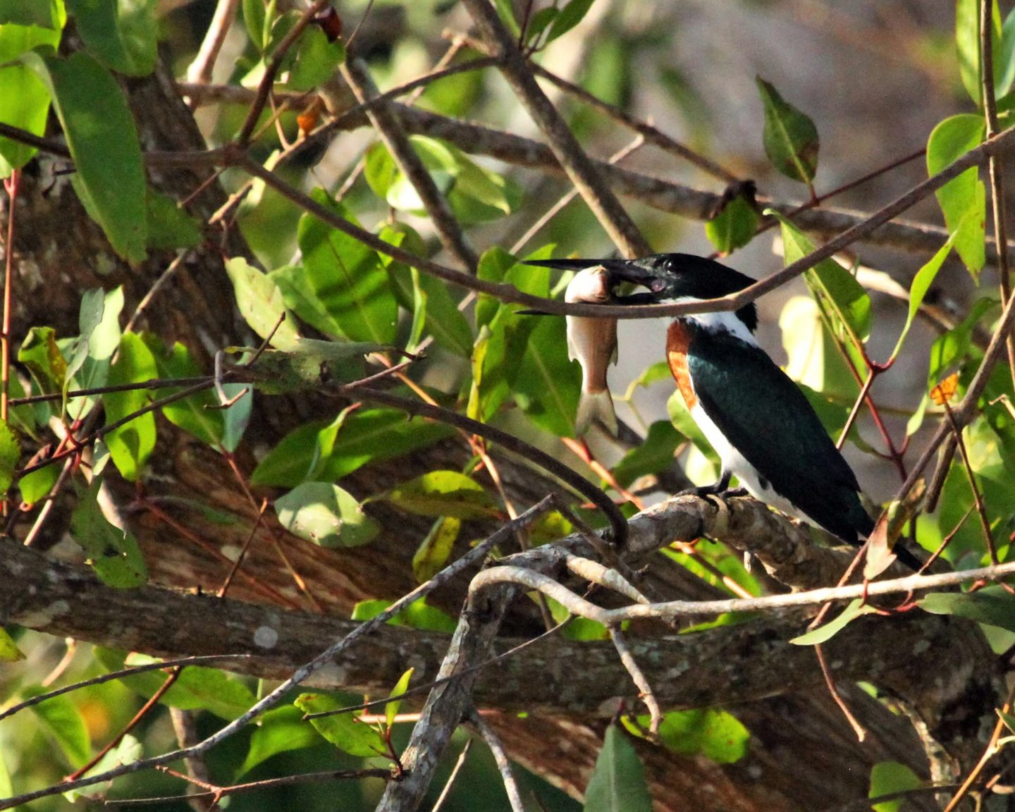Ringed Kingfisher with fish, Rio Tarcoles, Costa Rica