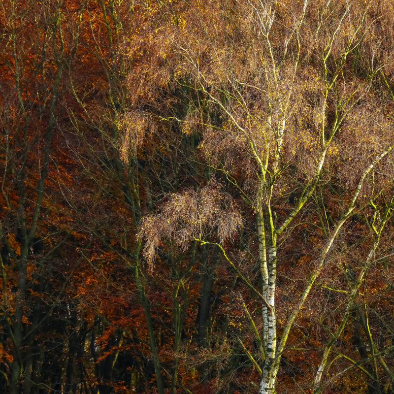 LUSTERED SILVER BIRCH ON COPPER II