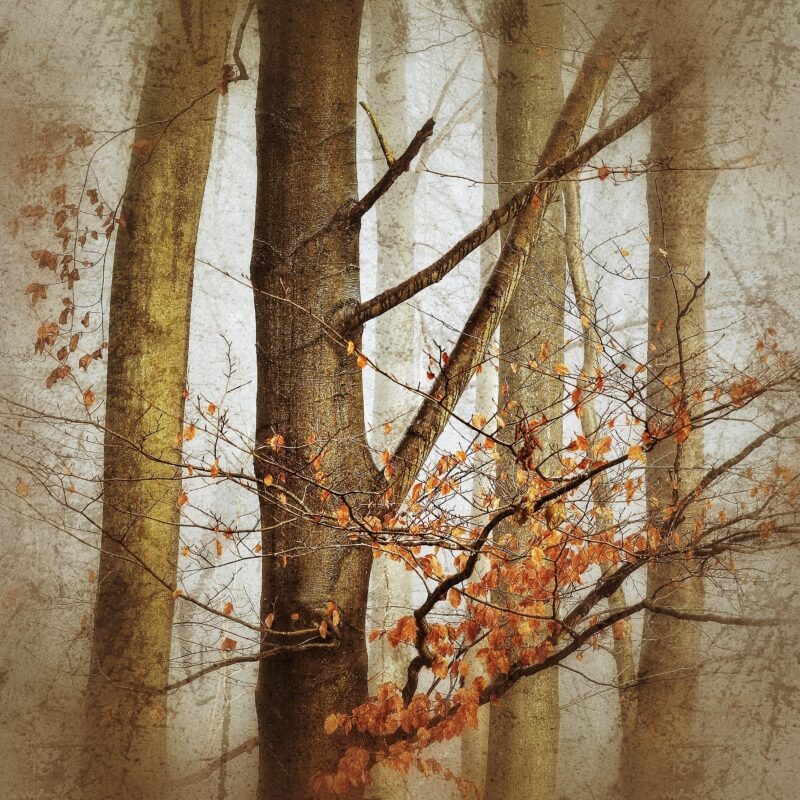 Beech Trees in the Mist I